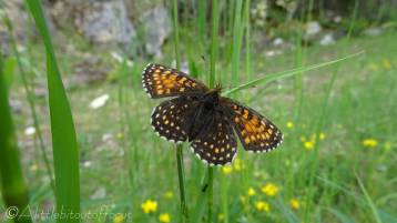 False Heath Fritillary (Melitaea diamina) upperside