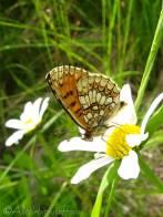 Heath Fritillary (Melitaea athalia) underside