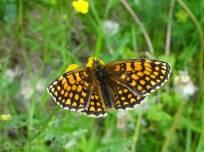 Heath Fritillary (Melitaea athalia) upperside