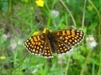 Heath Fritillary (Melitaea athalia) upperside