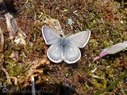 11 Unidentified 'blue' butterfly