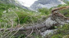 11 Uprooted tree