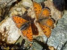 12 Pair of orange butterflies