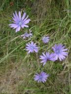 14 Chicory