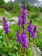 14 Early-purple Orchid