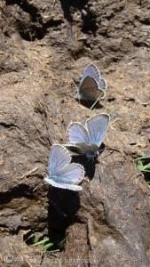 16 Blue butterflies