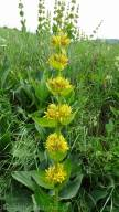 16 Yellow Gentian