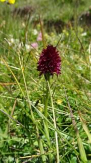 17 Black Vanilla Orchid