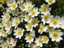 18 White Alpine Flowers