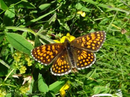 19 Heath Fritillary