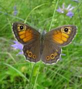 19 Large Wall Brown (upperside)