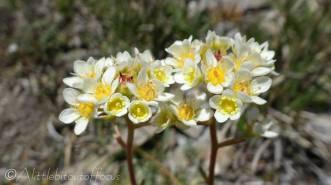 20 White Mountain Saxifrage (I think)