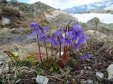 24 Alpine Snowbells