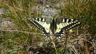 25 Common Swallowtail