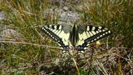 25 Common Swallowtail