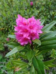 29 Alpenrose