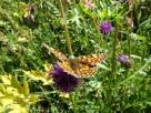4 Knapweed Fritillary (I think)