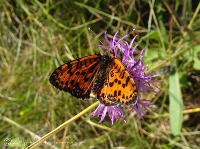 41 Spotted Fritillary