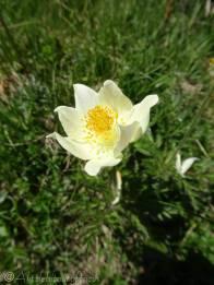 7 Yellow Pasqueflower