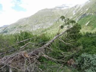 9 Fallen tree