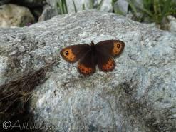 12 Marbled Ringlet (Erebia montana) female