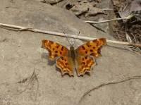 14 Comma butterfly