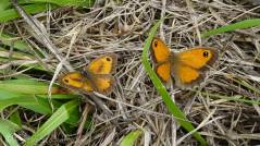 15 Gatekeepers (m & f) aka Hedge Browns