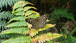 16 Speckled Wood