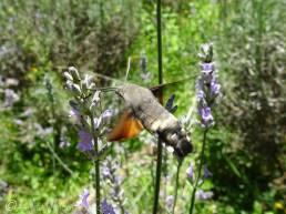 17 Hummingbird Hawkmoth