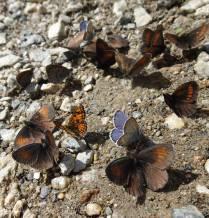 17 'Puddling' butterflies