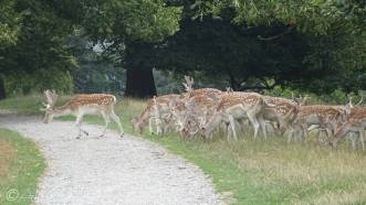 5 Fallow deer (Chatsworth Park)