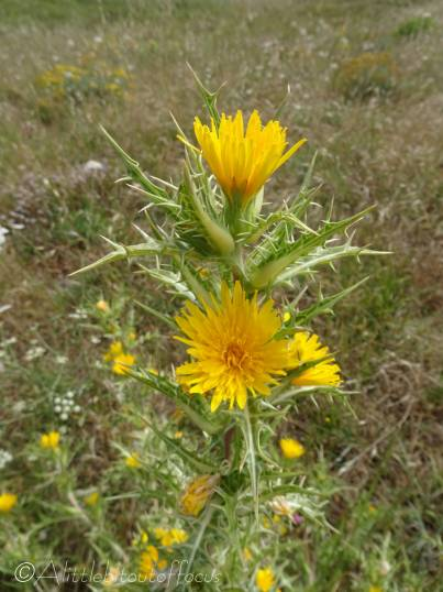 9 Yellow thistle