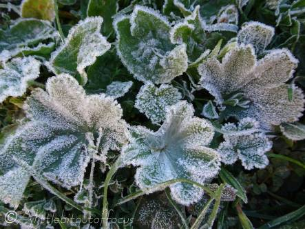 1 Frosty leaves