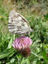 10 Marbled white