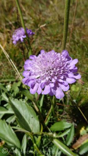 11 Bright Scabious (I think)