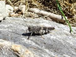 18 Blue Winged Grasshopper (I think)