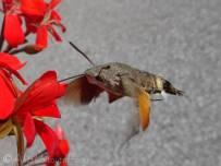 21 Hummingbird Hawkmoth