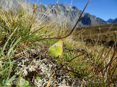 32 Mountain Clouded Yellow