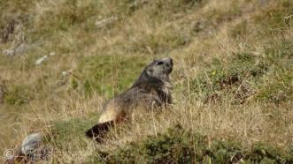 7 Marmot