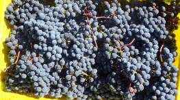 10 Harvested grapes