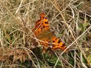 12 Comma butterfly