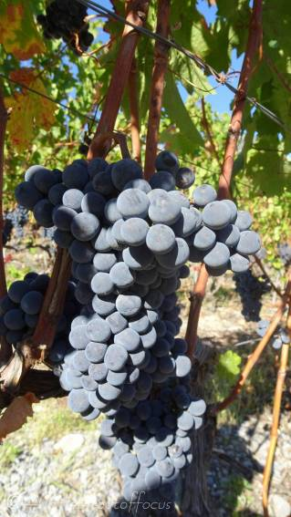 9 Grapes on the vine