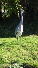 11 Grey Heron