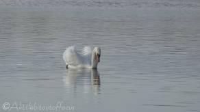 11 Swan
