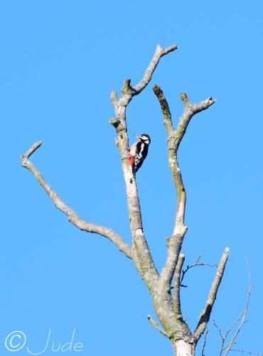 12 Woodpecker