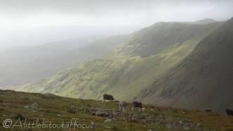 16 Sheep