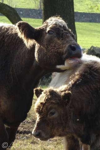 23 Belted Galloway cow and calf