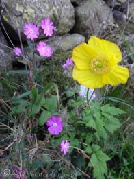 23 Red Campion and Yellow Poppy