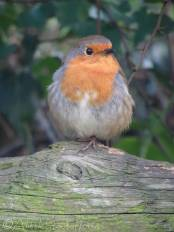 3 European Robin