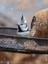 4 Crested tit